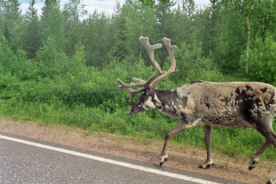 Ostoja szamana-Laponia (13)