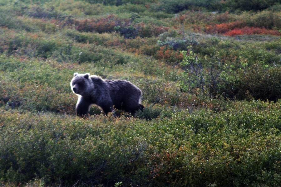Ostoja szamana-Alaska -w pogoni za misiem (11)