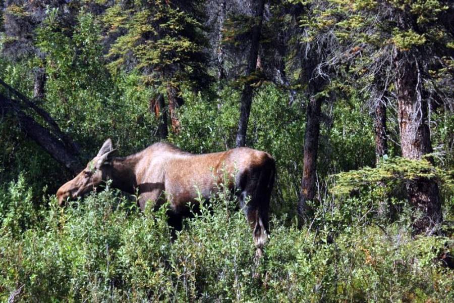 Ostoja szamana-Alaska -w pogoni za misiem (25)